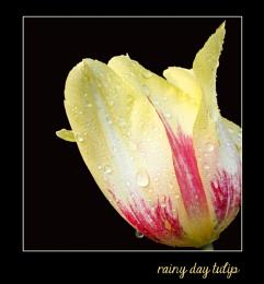 rainy day tulip