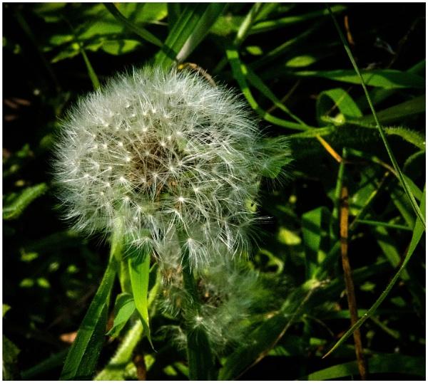 Dandelion seed head by malleader