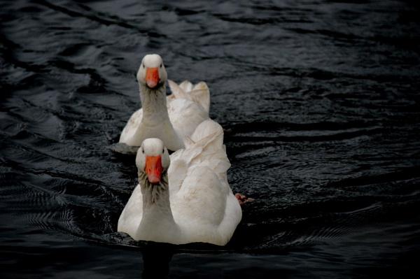 geese by stu8