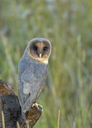 Black Faced Barn Owl
