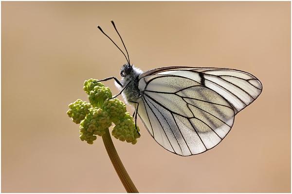 Black Veined White by NigelKiteley