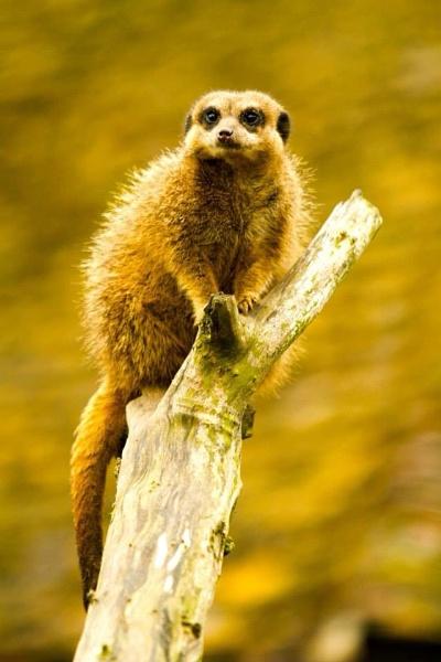 Meerkat 1 by losbarbados