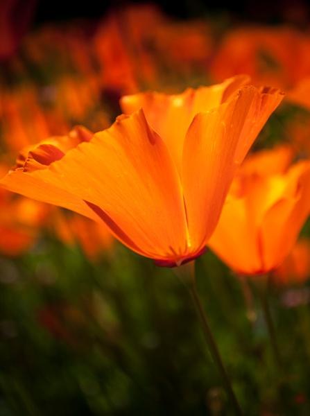 California poppy by chavender