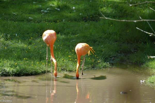 Flamingo by Swarnadip