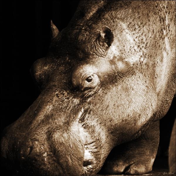 Hippo by Jon.H