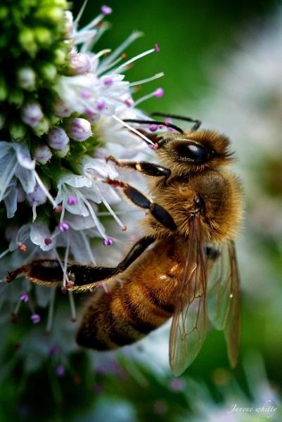 Bee by janenewhitty
