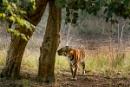 Tigress (smelling) by bommalu
