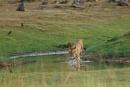 Tigress  at water hole (Tadoba, Maharastra, INDIA ) by bommalu