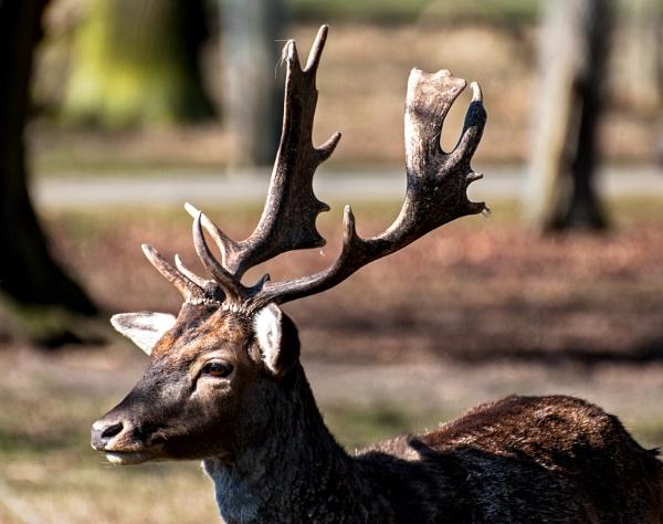 Fallow buck by cisco4611
