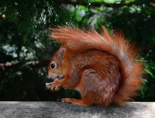 Red Squirrels by Holmewood