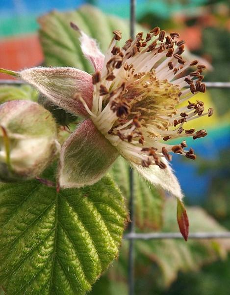 Raspberries are growing by ZoeKemp