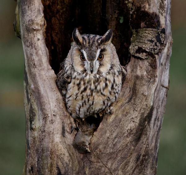 A Long Eared Owl by RobertTurley