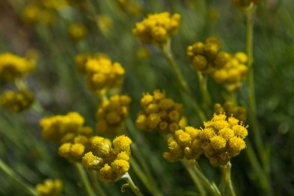 Little yellow flower by derrymaine