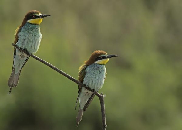 Bee-eater by katholdbird