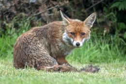 New fox in the garden