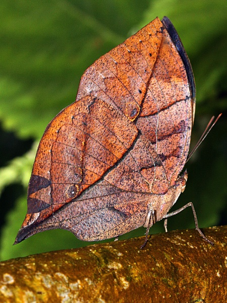Indian Leaf Butterfly. by bobpaige1