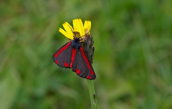 Cinnabar Moth by DerekL