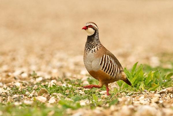Red-legged Partridge by JohnoP