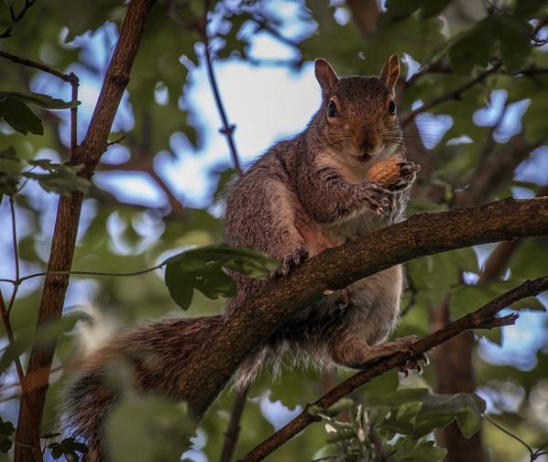 Breakfast Squirrel by whitehall55