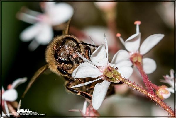 Worker Bee by Paul_Iddon