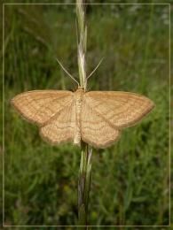 wave moth