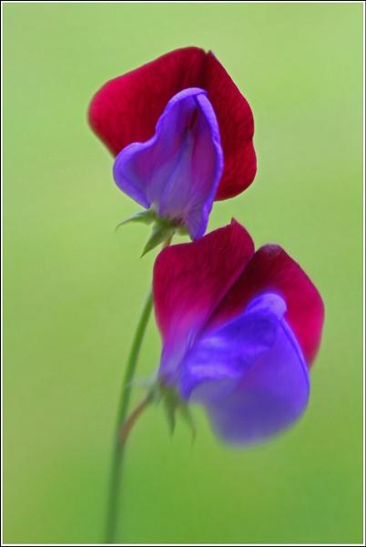 Sweetpea with Love ... by Traceyflowerpots