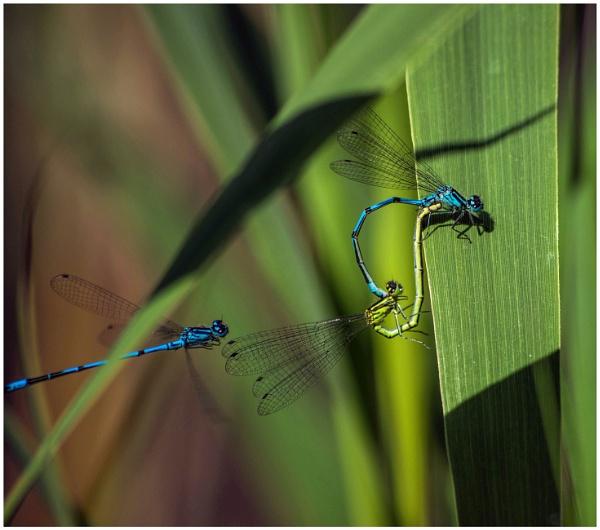 Mating damselflies by malleader