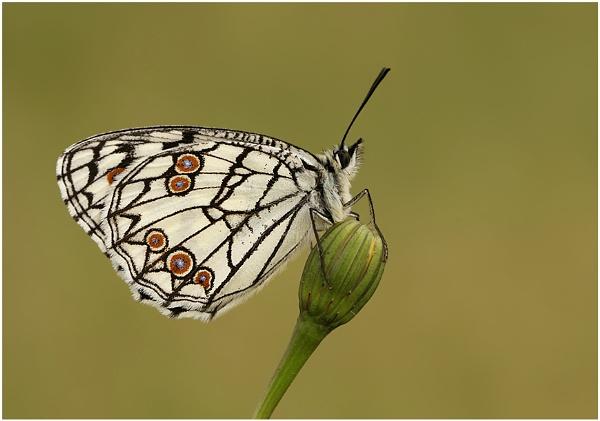 Spanish Marbled White by NigelKiteley