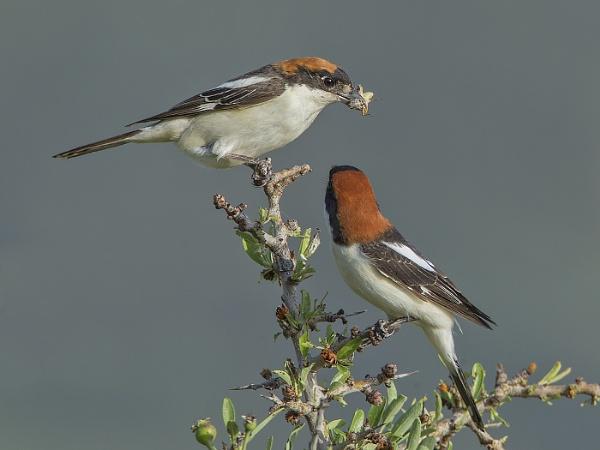 Woodchat Shrikes by Jamie_MacArthur