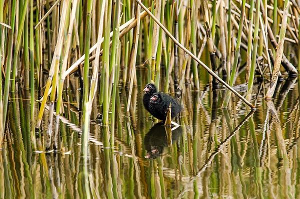 Moorhen chicks by icphoto
