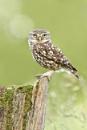 Little Owl by LukeParkinson