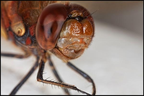 Dragonfly portrait by jackfisher