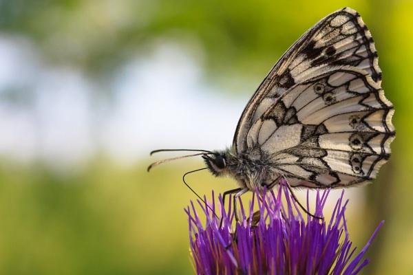 Butterfly by llareggub