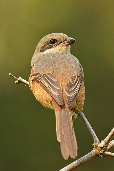 Gray Shrike by arindomb