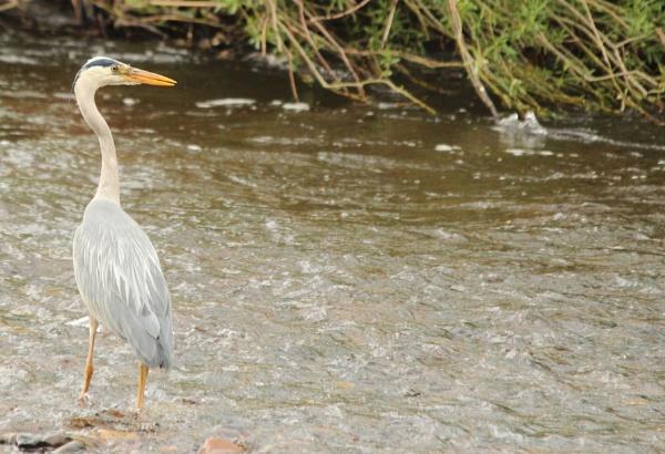 Heron by ScottishHaggis