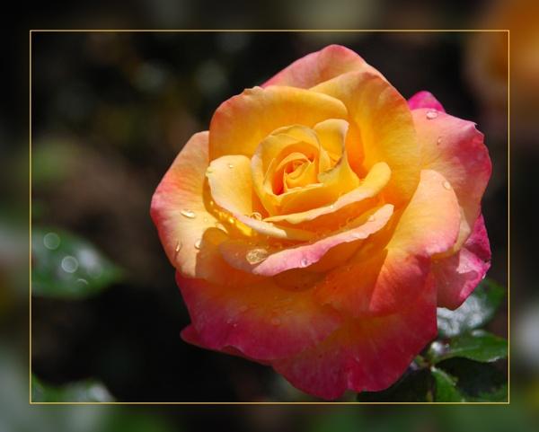 Rose by stephens55
