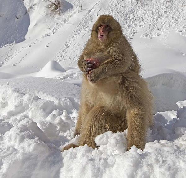 Cheeky baby Snow monkey by hibbz