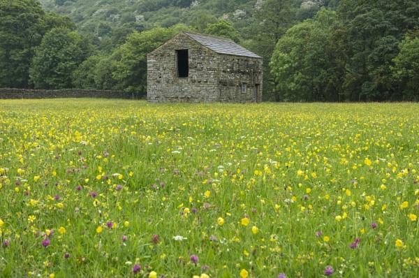 Swaledale barn & wildflowers by suzy1962