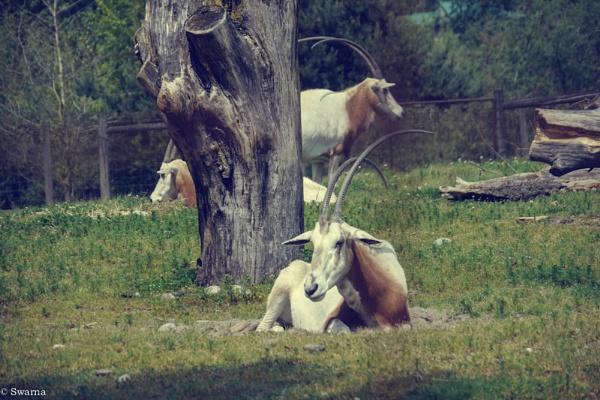 Mountain Goat by Swarnadip