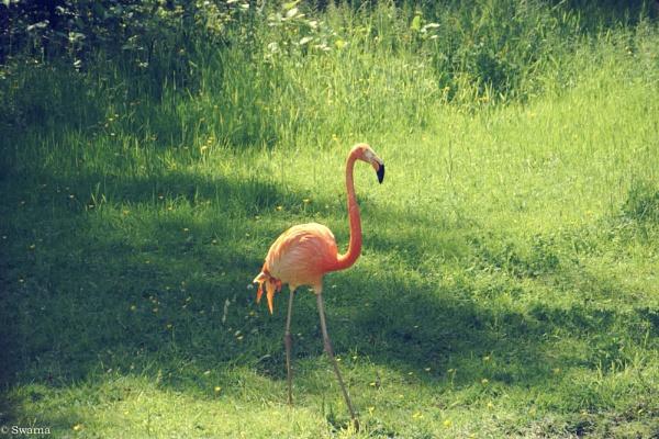 Flamingo II by Swarnadip