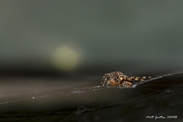 common garden spider uk by mohikan22