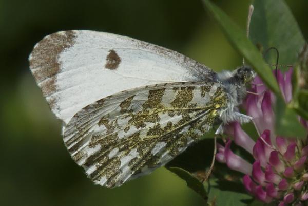 Female Orange Tip Butterfly by pmeswani