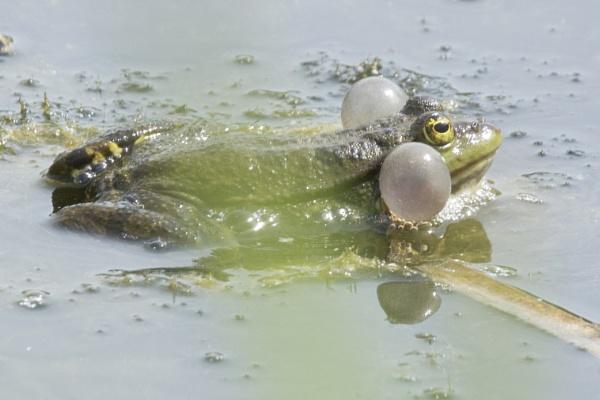 Marsh Frog by pmeswani