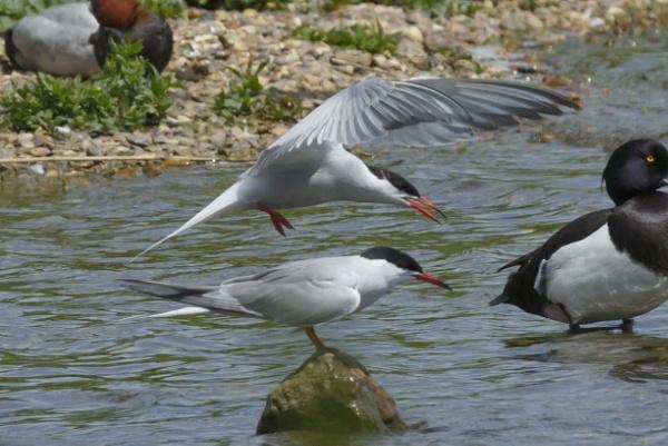 Common Tern by pmeswani