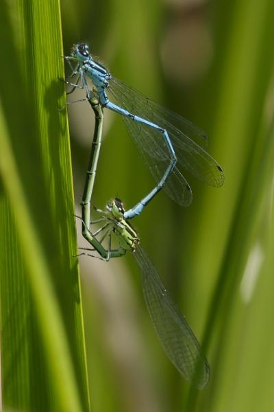 Mating Damselfly by pmeswani