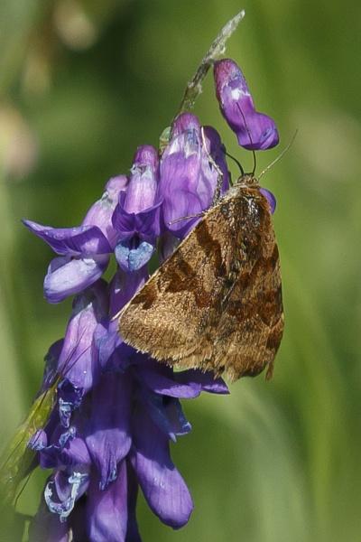 Burnet Companion Moth by pmeswani