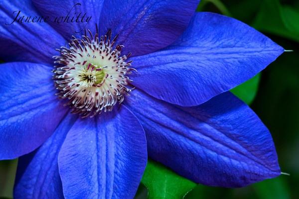 Blue Flower by janenewhitty