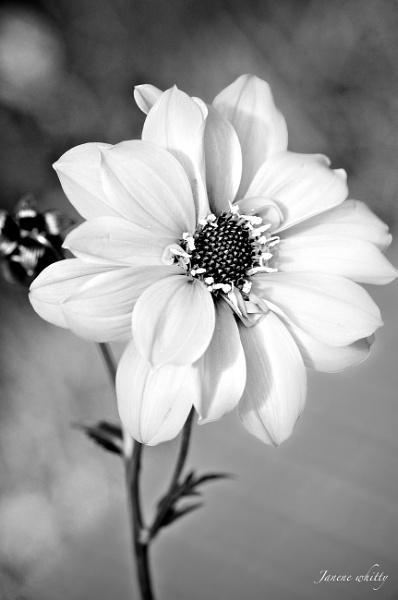 Flower by janenewhitty