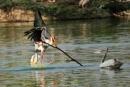 Stork vs Pelican by bommalu