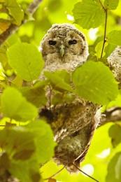 Baby Owl 2